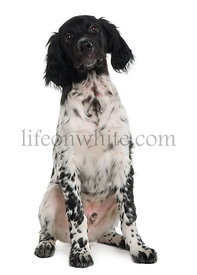 Munsterlander puppy, 16 weeks old, sitting in front of white background