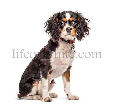 Sitting cute Cavalier King Charles Spaniel, isolated on white