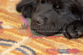 Close up of a sleeping newfoundland puppy's nose