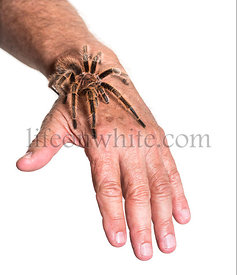 Tarantula on persons hand against white background