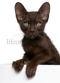Havana Brown kitten getting out of a box, 15 weeks old, in front of white background