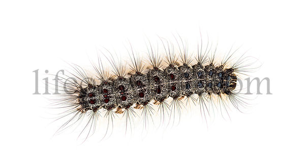 Overhead view of the Caterpillar of a Lymantria dispar, the gypsy moth against a white background