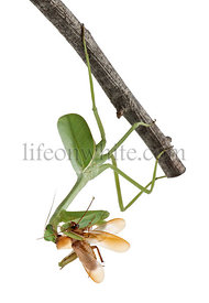 Stagmatoptera Sp, Stagmatoptera, praying mantis, mantidae