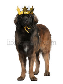 Leonberger dog wearing crown, 18 months old, standing in front of white background