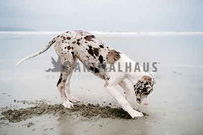 A young great dane puppy digging in the sand at the ocean