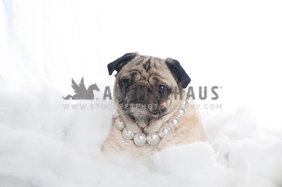 Pug in Pearls