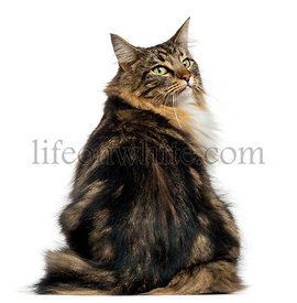 Rear view of a Norwegian Forest cat looking backwards, isolated on white