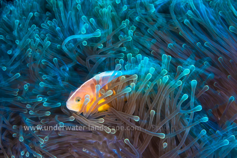 In his anemone: Clown fish