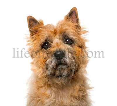 Close-up of a Cairn Terrier (5 years old) in front of a white background