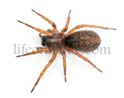 Tangled nest spider, Night spider or Hacklemesh weaver, Coelotes terrestris, in front of white background