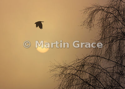 Western Jackdaw (Corvus monedula) in flight with weak winter sun, Badenoch & Strathspey, Scottish Highlands