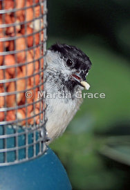 Marsh Tit (Poecile palustris) on a garden peanut feeder with part of a peanut in its bill, Lake District National Park, Cumbr...