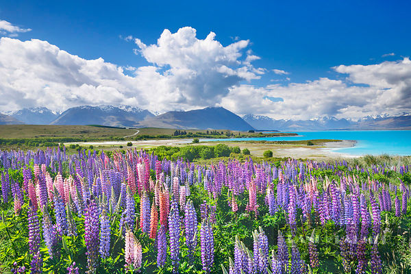 Lupine meadow  - Oceania, New Zealand, South Island, Canterbury, Mackenzie, Lake Tekapo, Lake Tekapo, Mt. John Observatory (P...