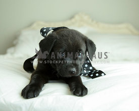 Black puppy looks shy on bed wearing polkadot ribbon around neck