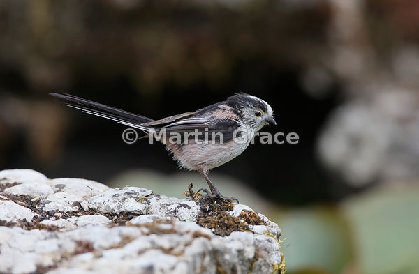 Long-Tailed Tit (Aegithalos caudatus) standing on a limestone slab by the garden pond, Lake District National Park, Cumbria, ...