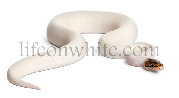 Female Pied Spider Royal python, ball python, Python regius, 18 months old, in front of white background
