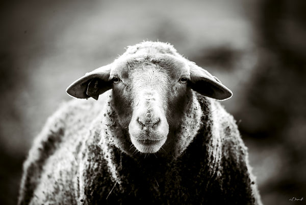 mouton-portrait-décoration-eric_dincuff_photographe