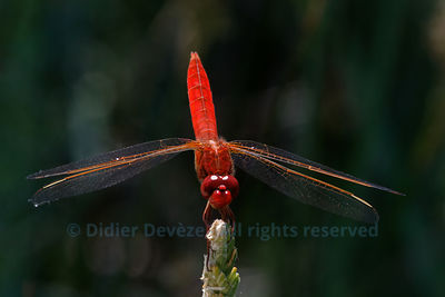 Blood red dragonfly