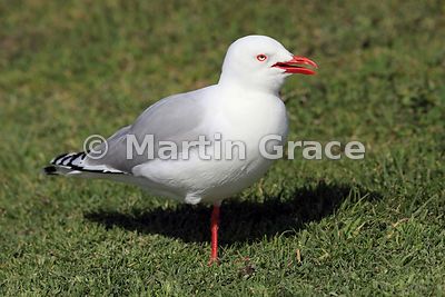 A Red-Billed Gull (Larus novaehollandiae scopulinus) calls while standing on one leg on grass at Otaki Beach, Wellington, Nor...