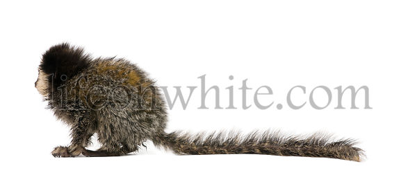 Side view of young White-headed Marmoset, Callithrix geoffroyi, 5 months old, in front of white background, studio shot