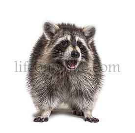 Expressive raccoon standing on a white background, surprised