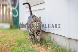 Tabby cat outdoors walking near house