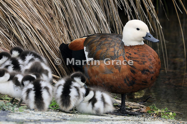 Female Paradise Shelduck (Tadorna variegata) with her brood of seven ducklings, Zealandia, Wellington, North Island, New Zealand
