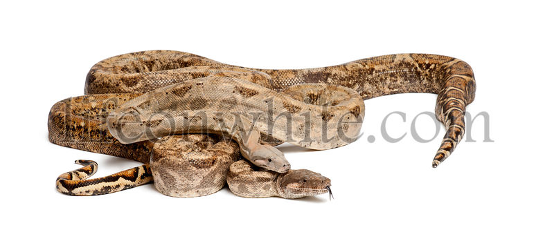 Two Common Northern Boas, Boa constrictor imperator, from Hog Island, Honduras, Central America, against white background