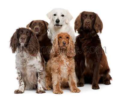 Group of dogs, Labrador Retriever, American Cocker Spaniel, English Cocker Spaniel and Kuvasz, in front of white background