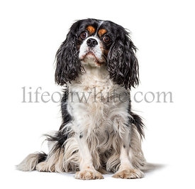 Sitting Cavalier King Charles, isolated on white