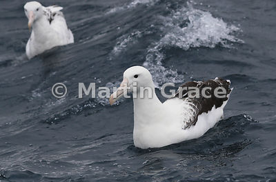 Northern Royal Albatross (Diomedea sanfordi) on the water, Kaikoura, Canterbury, South Island, New Zealand