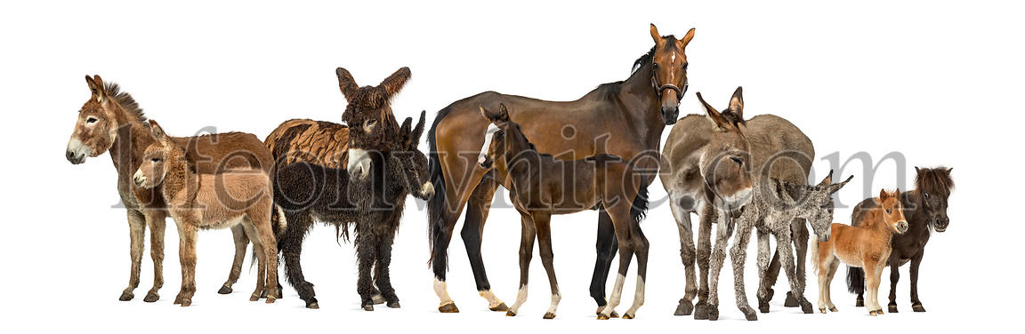 Group of horses and donkeys, isolated on white