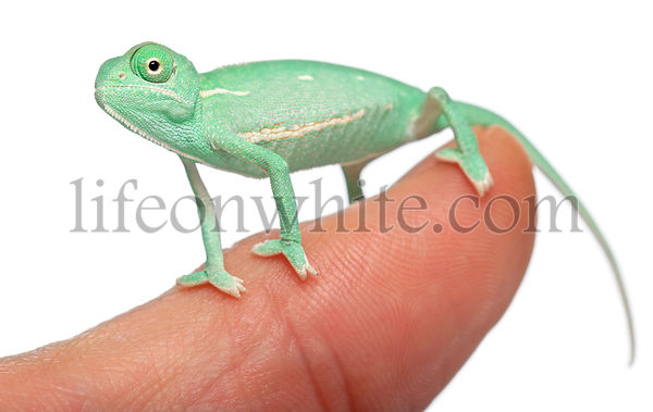 Young veiled chameleon on finger, Chamaeleo calyptratus, in front of white background