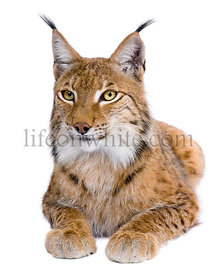 Eurasian Lynx, Lynx lynx, 5 years old, in front of a white background