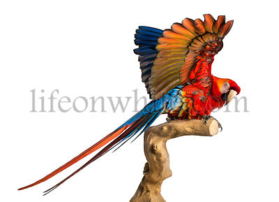 Scarlet Macaw (4 years old) perched on a branch and flapping its wings, isolated on white