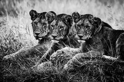 08341-Three lion cubs watching the plain, Tanzania 2018 © Laurent Baheux
