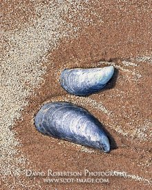 Image - Mussel shell on sandy beach, Grunaird Bay, Wester Ross, Highland, Scotland