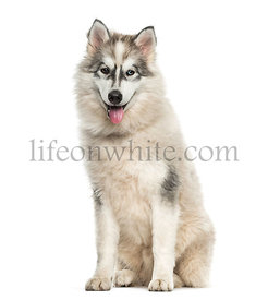 Young Alaskan Malamute dog sitting against white background