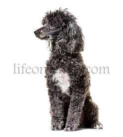 Poodle , 5 years old, sitting against white background