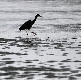 White-Faced Heron (Egretta novaehollandiae) in silhouette, walking through the shallows just below the shoreline, Dunedin, Ot...