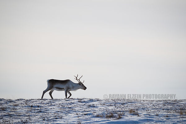Reindeer on a hill top in bright sunlight in Northern Norway