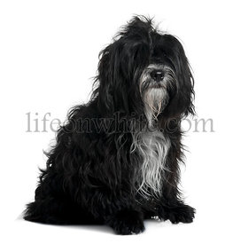 Tibetan terrier, 5 years old, sitting