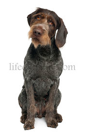 German shorthaired pointer, 6 years old, sitting in front of white background