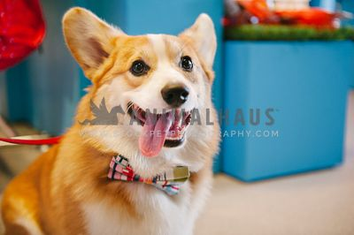 A corgi in a bow tie with his tongue hanging out
