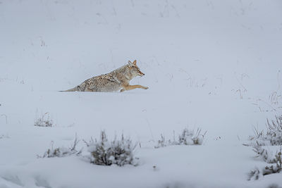 Coyote (Canis latrans) / Coyote
