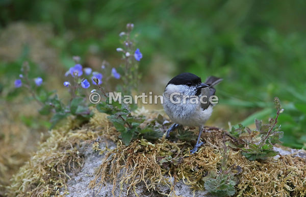 Marsh Tit (Poecile palustris) with speedwell in a Lake District National Park garden, Cumbria, England