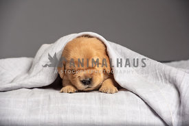 close up head shot of newborn golden retriever puppy covered by grey blanket
