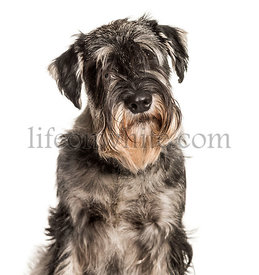 Standard Schnauzer looking at camera against white background