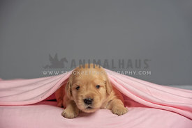 2 week old golden retriever puppy laying under pink blanket