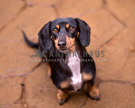 Black and Tan Doxie lookin up at camera with on flagstone with smirk